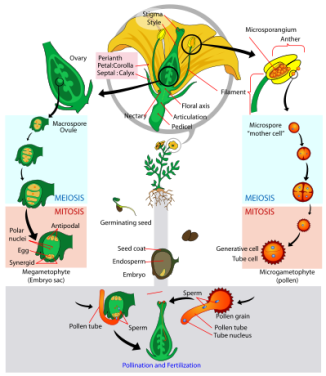 399px-Angiosperm_life_cycle_diagram.svg
