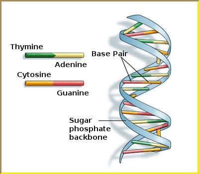 DNA-molecule